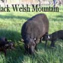 Black Welsh Mountain