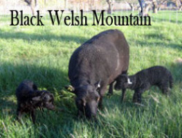 Black Welsh Mountain