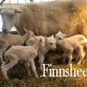Finnsheep