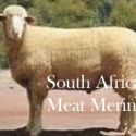 South African Meat Merino-SAMM