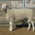 White Suffolk